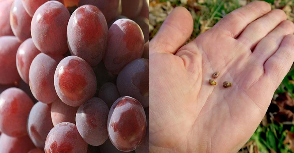 Benefícios da semente de uva