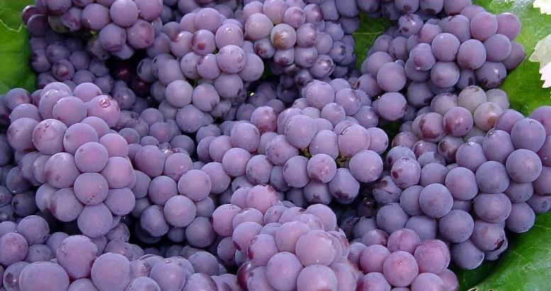 Benefícios da uva roxa