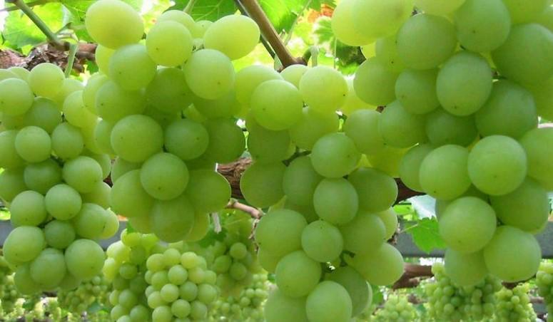 Benefícios da uva verde