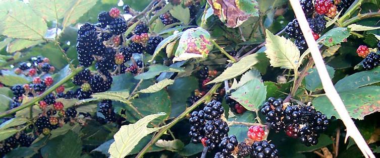 frutas mais saudaveis do mundo - amoras