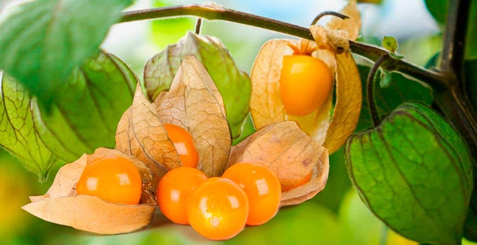 Golden Berry e seus benefícios