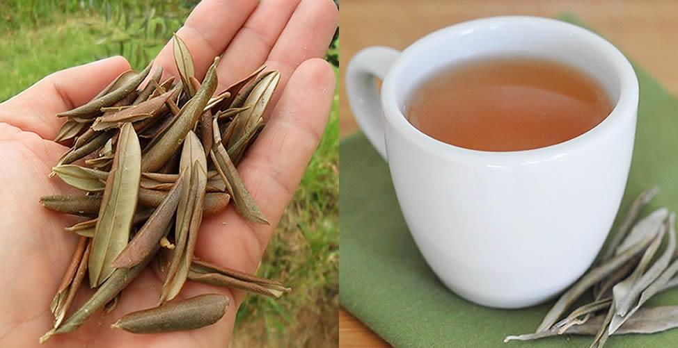 benefícios do chá de oliveira