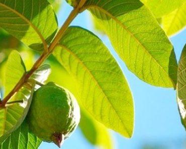 benefícios das folhas de goiabeira