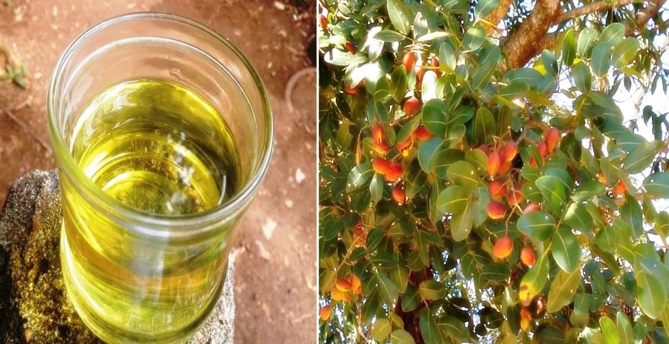 Benefícios do óleo de copaíba