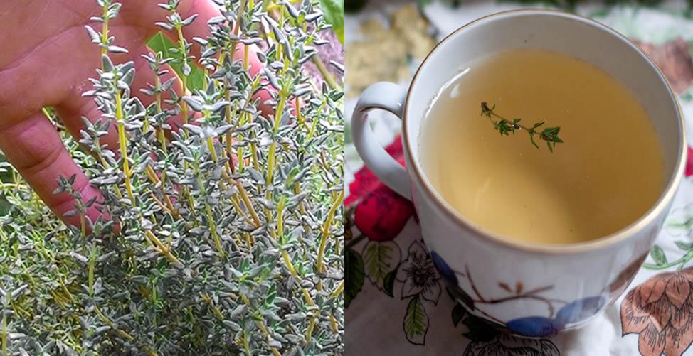 chá de tomilho