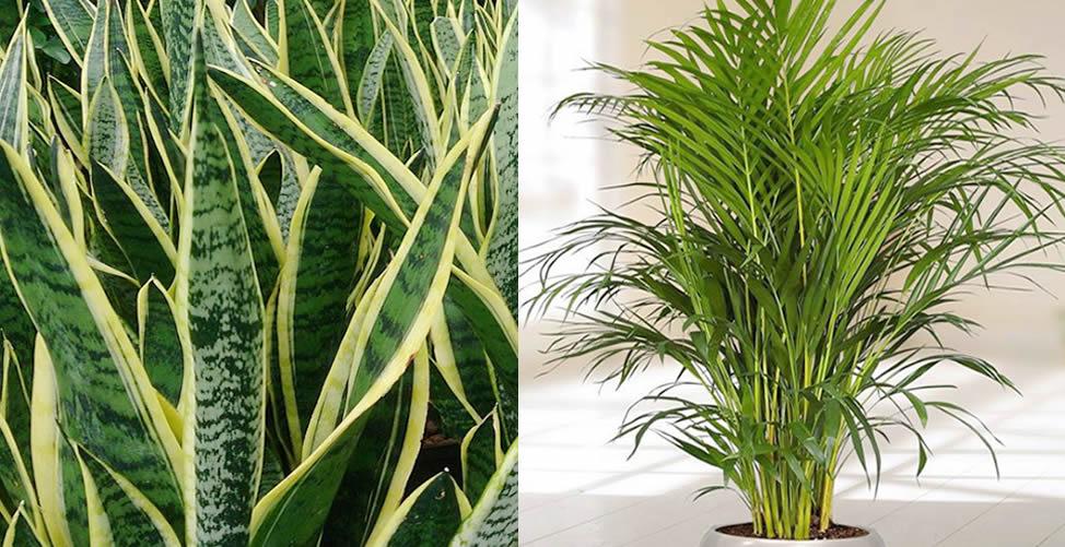Plantas para purificar o ar