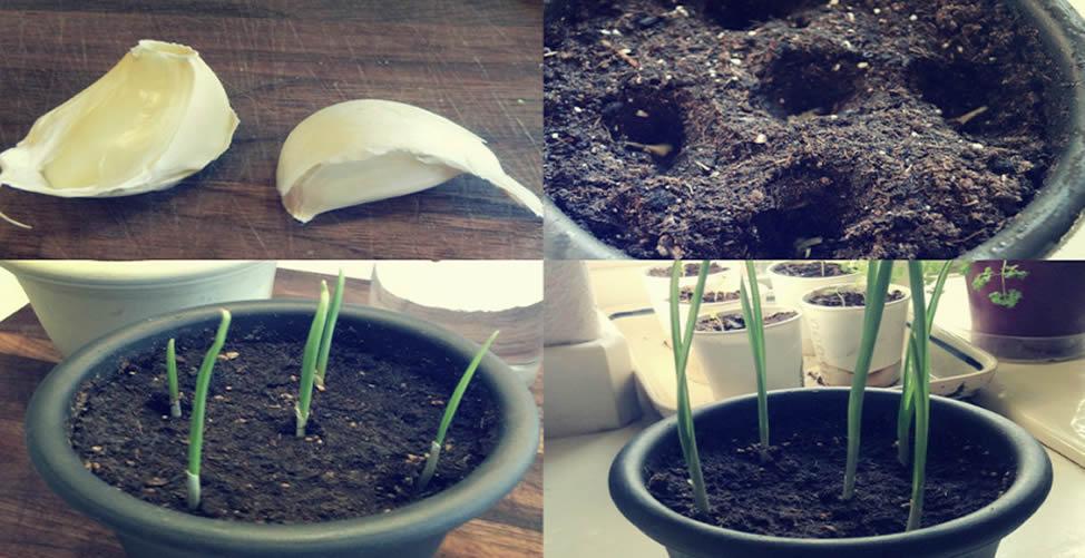 Como plantar alho em apartamento