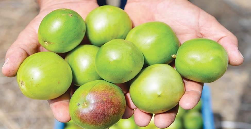 benefícios da fruta umbu
