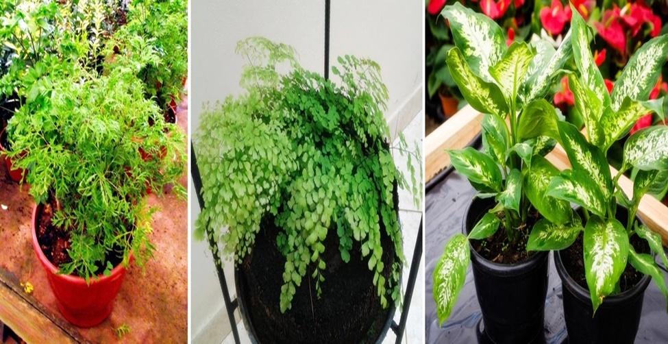 plantas que afastam olho gordo