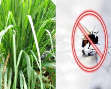 plantas que afastam mosquitos e pernilongos
