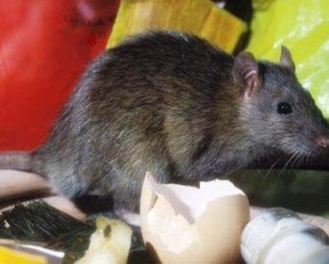 Como acabar com ratos na sua casa