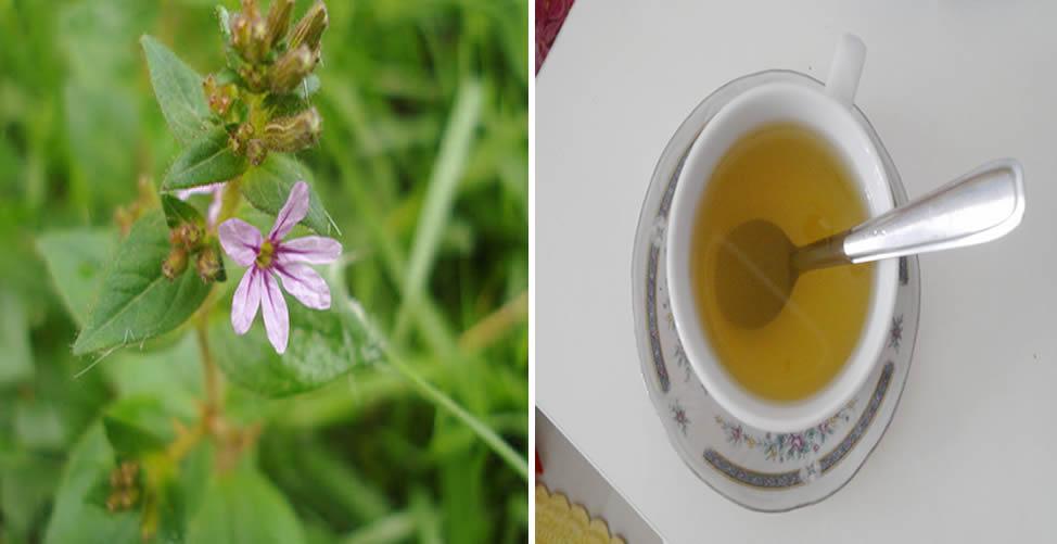 Benefícios da Sete Sangrias - Chá