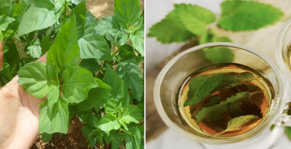 Benefícios do Chá de Alfavaca