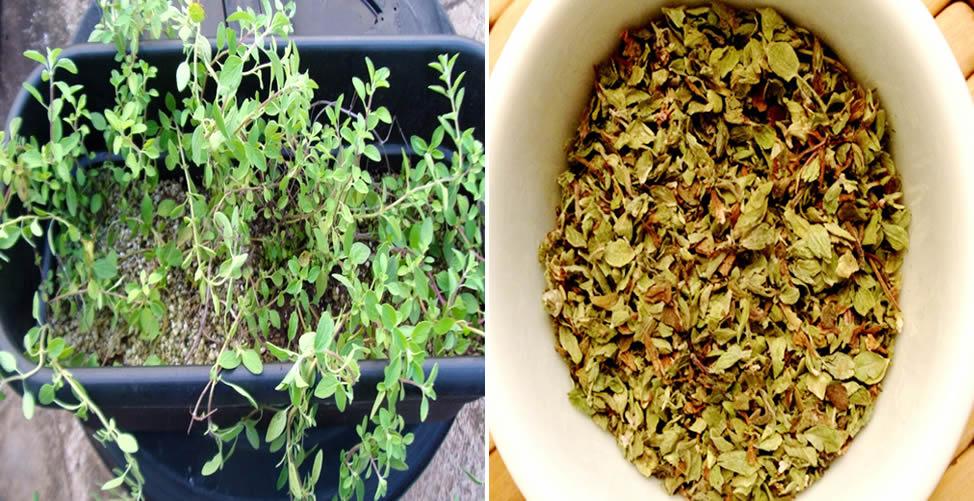 Benefícios do Chá de Orégano - O Que é Orégano