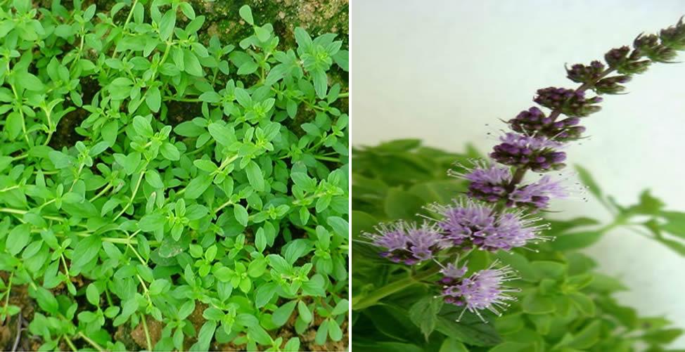 Benefícios do Chá de Poejo-Planta