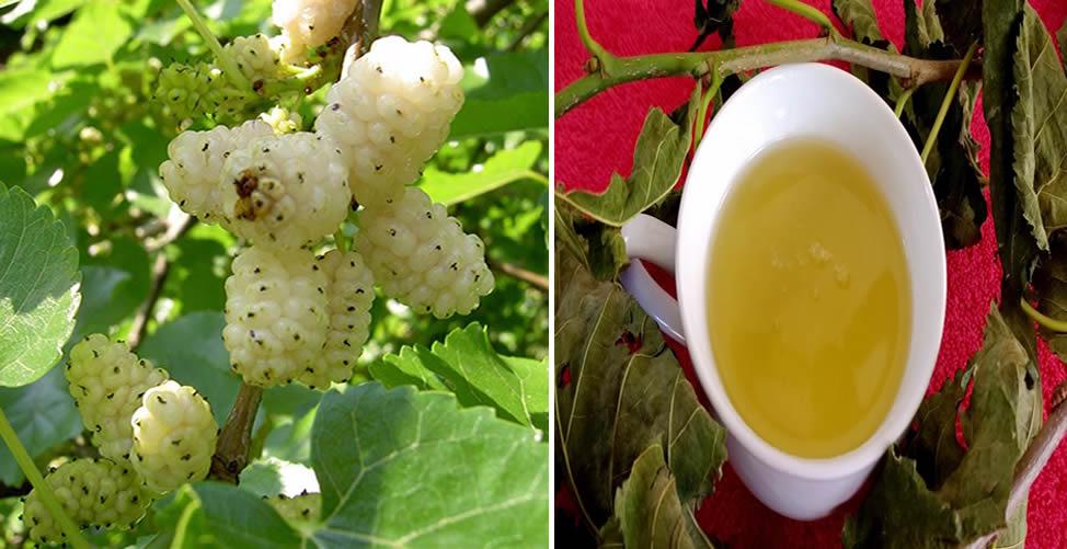 Benefícios da Amora Branca - Chá