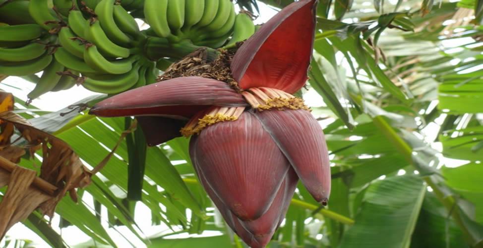 Benefícios da Flor de Bananeira