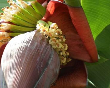 Benefícios-da-Flor-de-Bananeira