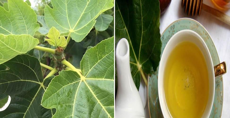 Benefícios do Chá de Folha de Figo - Receita