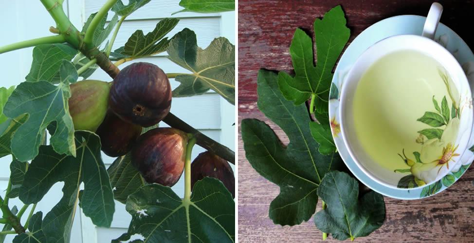 Benefícios do Chá de Folha de Figo