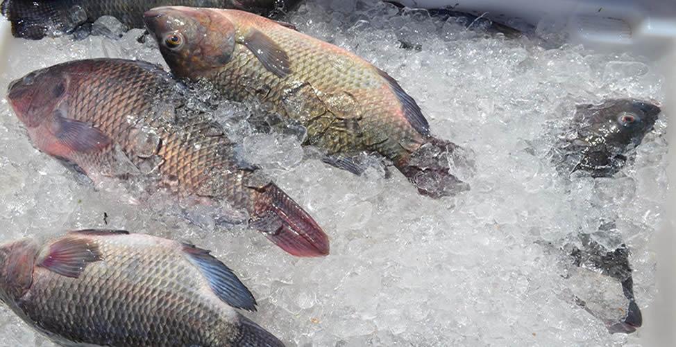 Como Saber Se o Peixe Está Fresco
