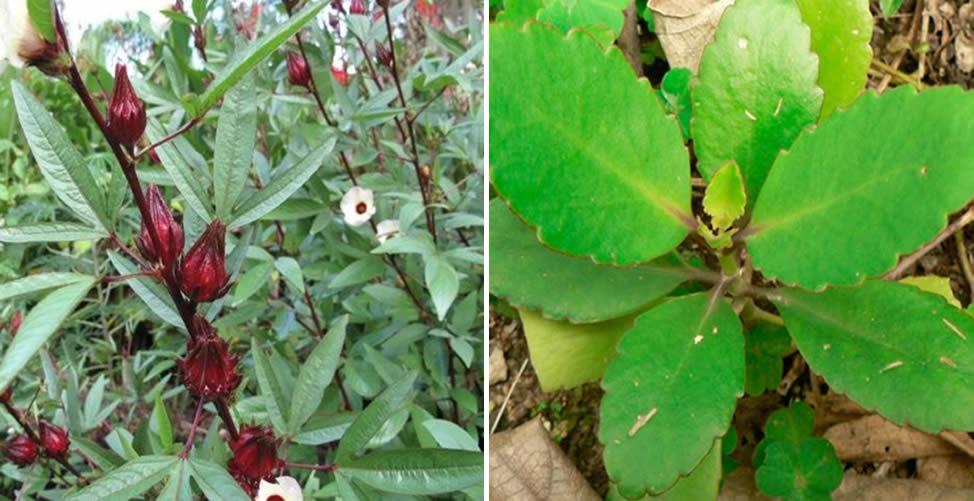 Exemplos de Plantas Comestíveis