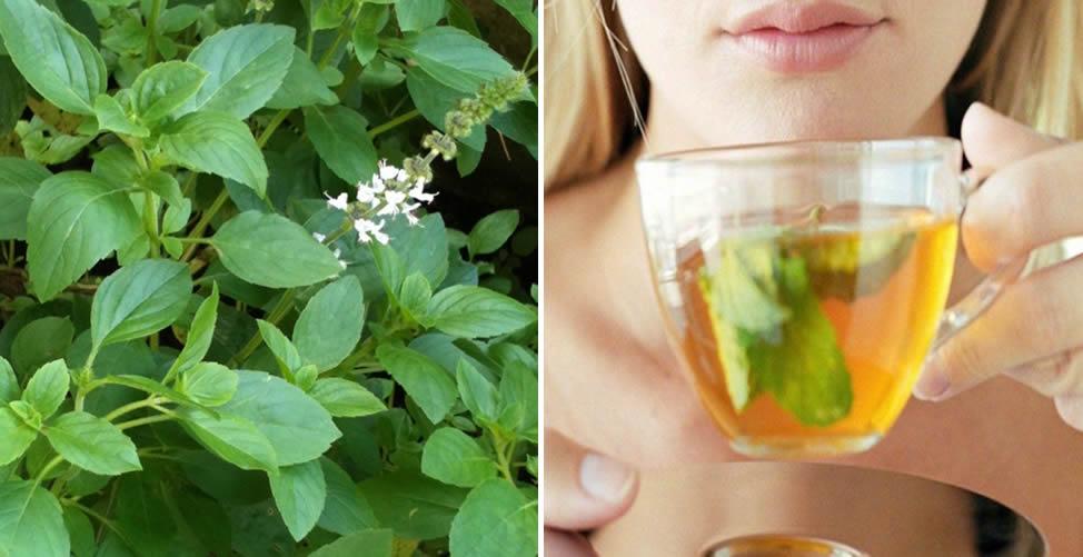 Remédio Caseiro Para Coceira no Corpo - Chá de Manjericão