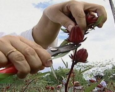 Como-plantar-hibisco