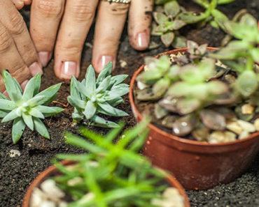 como-plantar-plantas-suculentas
