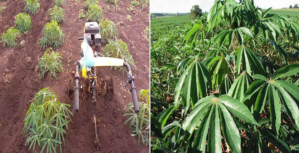 Aprenda Como Plantar Mandioca